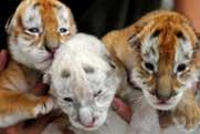 Tiger triplets to make their debut in Guangzhou