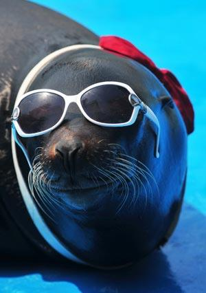 Image of: Wallpapers Sea Lion Wears Sunglasses In The Interval Of Performance At The Qingdao Polar Ocean Cctv News Cool